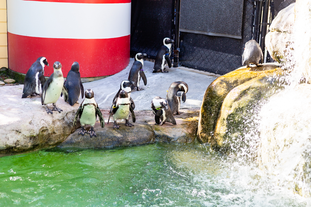 Penguins at Lowry Zoo