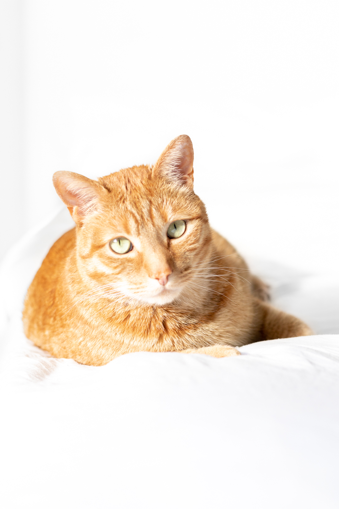 orange ginger cat